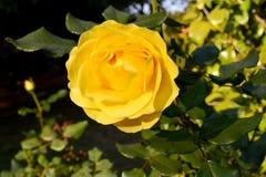 Rosa Amarela_Yellow Wzrastał Obrazy Stock