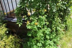 Rosa amarelo da flor e b folheado verde fotografia de stock royalty free
