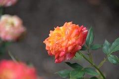 Rosa amarelo do pêssego da multi rosa hued imagens de stock royalty free