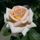 Rosa, amarelo, flor, jardim, fundo, fim, bonito, natureza, ensolarada, beleza, verde, cor, verão, natural, fresco, colorido, imagens de stock royalty free