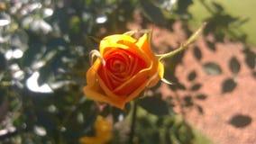 Rosa amarilla Arkivfoton