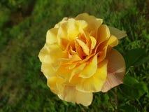 Rosa amarilla Arkivbild