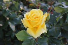 Rosa amarilla brillante - la alegría del jardinero imagenes de archivo