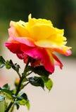 Rosa amarilla del rosa en un jardín Fotos de archivo