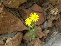 Rosa amarilla dos entre las rocas en casa en el jardín Foto de archivo libre de regalías