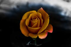 Rosa amarilla oscura en mi jardín fotos de archivo libres de regalías