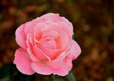 Rosa & amore della terra Fotografie Stock Libere da Diritti