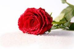 Rosa & gocce su bianco Fotografia Stock