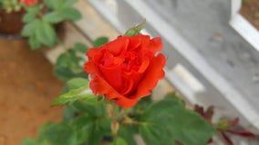 Rosa anaranjada hermosa natural del color imagenes de archivo