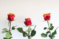 Rosa anaranjada roja en botella, contra el fondo blanco imagen de archivo