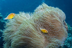 Rosa Anemonefish stockbild