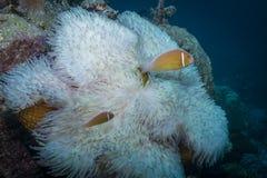 Rosa Anemonefish stockfoto
