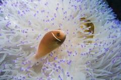 Rosa Anemonefish arkivfoton