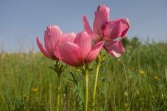 Rosa Anemonen stockfoto