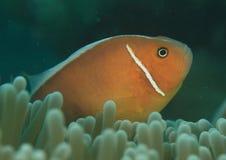 Rosa anemonfish stockbilder