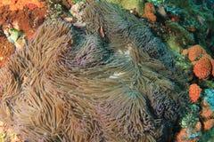 Rosa anemonfish i stor anemon royaltyfri bild