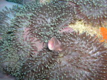 Rosa anemonfisk Royaltyfri Fotografi