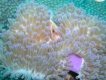 Rosa anemonfisk Fotografering för Bildbyråer
