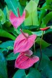 Rosa anthurium Arkivfoton