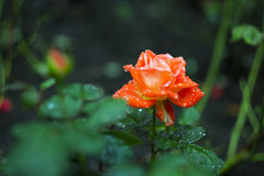 Rosa após a chuva Imagem de Stock
