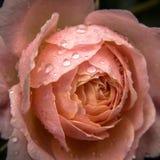 Rosa após a chuva Imagens de Stock Royalty Free