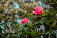 Rosa após a chuva imagem de stock royalty free