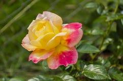 Rosa aperto e Rosa ibrida gialla immagine stock
