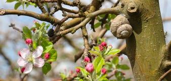 Rosa Apfel blüht im April Lizenzfreies Stockbild