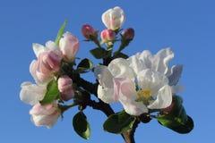 Rosa Apfelblumen Lizenzfreie Stockbilder