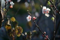 Rosa Aprikosenblüte lizenzfreies stockbild