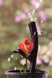 Rosa arancio nella pioggia Fotografia Stock Libera da Diritti