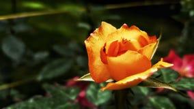 Rosa arancione fotografia stock libera da diritti