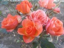 Rosa arancione immagine stock libera da diritti
