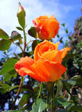 Rosa arancione Fotografia Stock