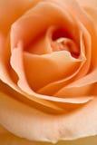 Rosa arancione Immagini Stock Libere da Diritti