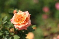 Rosa arancione Fotografie Stock Libere da Diritti