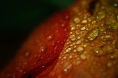 Rosa arancione Fotografie Stock