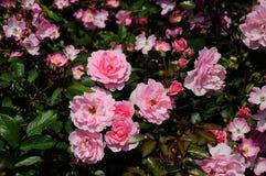Rosa arbusto Fotos de Stock Royalty Free