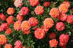 Rosa arbusto Fotografia de Stock