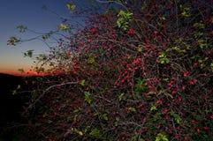 Rosa arbusto e escurecimento vermelho Fotos de Stock Royalty Free