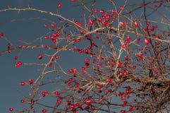 Rosa arbusto e escurecimento vermelho imagens de stock