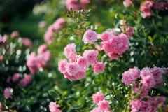 Rosa arbusto no jardim imagem de stock