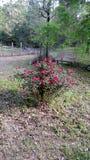 Rosa arbusto no pátio traseiro Fotografia de Stock Royalty Free