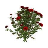 Rosa arbusto vermelha ilustração stock