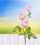 Rosa arbustos contra a cerca branca no jardim ensolarado do verão, natureza Foto de Stock Royalty Free