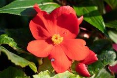 Rosa arkansan zbliżenie Czerwony lato kwiat w ogródzie obrazy stock