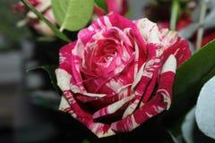 Rosa artificial artificial de los colores con tonalidades inusuales del pétalo Imagen de archivo