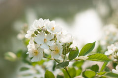 Rosa arvensis. Rosa multiflora. White rose or a rosa arvensis or rosa multiflora growing in a garden Royalty Free Stock Image