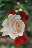 Rosa, as rosas, rosas vermelhas, rosa vermelha de A, flor, chinês aumentou, imagens de stock royalty free