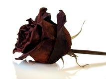 Rosa asciutta isolata immagini stock libere da diritti